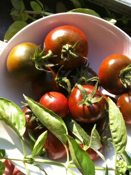 gutter garden heirloom tomato harvest