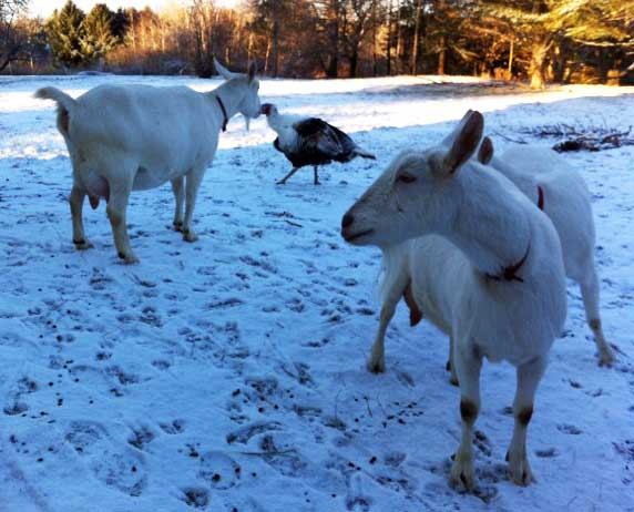 HOMEGROWN Life: Goats in winter
