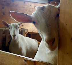 HOMEGROWN-life-dyan-goats