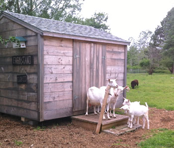 HOMEGROWN-life-goats-at-stand