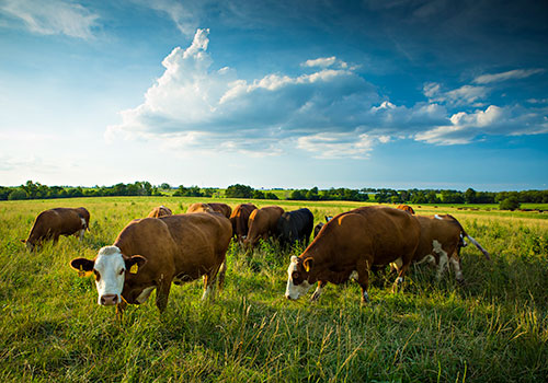 HOMEGROWN-life-why-raise-cattle-grazing