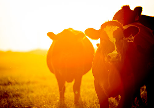 HOMEGROWN-life-why-raise-cattle-sunset