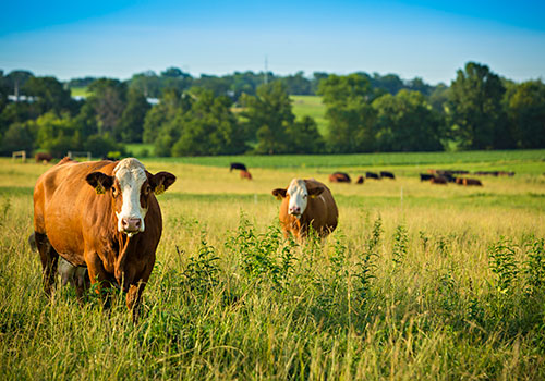HOMEGROWN-life-why-raise-cattle-two