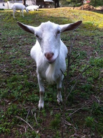 HOMEGROWN-life-goats-2