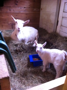 HOMEGROWN-life-goats-3