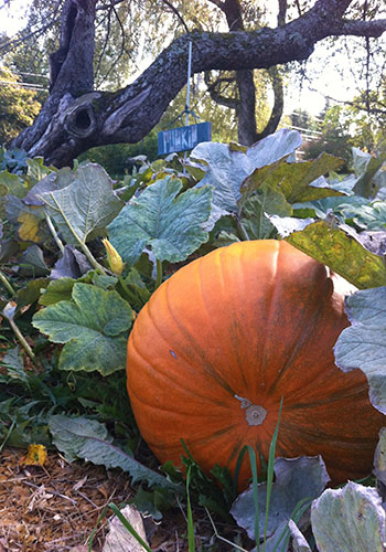 HOMEGROWN-life-fall-foods-pumpkin